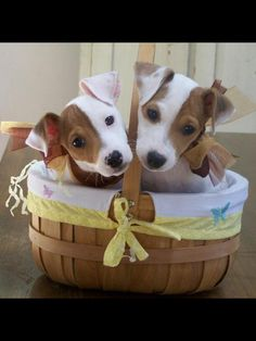 Jack Russell Terrier - A Dog in One Pack - Champion Dogs Terriers, Terrier Puppies, Bull Terrier Dog, Cute Puppies, Cute Dogs, Dogs And Puppies, Doggies, Maltese Puppies, Jack Russell Puppies