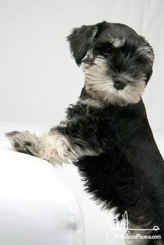 Aww so adorable!!! Oh please I'll take that mini schnauzer puppy home with me right now!!