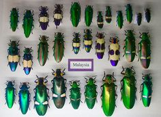 Insectropolis Bugseum, Jewel Beetles