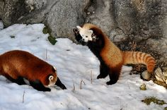 Red Panda Fight! by Alexander Yates, via Flickr