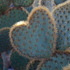 heart _opuntia  http://www.pinterest.com/janschafer524/southwest-santa-fe-taos/