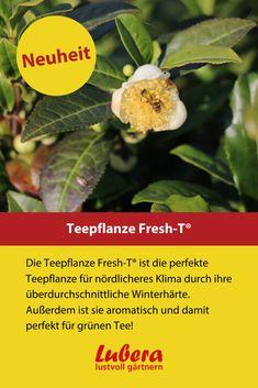 Unsere Teepflanze Fresh-T® ist super für grüne Tees mit Pflanzen aus dem eigenen Garten geeignet. Zusätzlich hat sie einen wunderschönen gesunden Wuchs. Mehr Infos und Tipps finden sie in unserem Shop ↓  ↓  ↓ ↓  ↓  ↓ ↓  ↓  ↓ ↓  ↓  ↓ _______________________________________________________ #tee #selbstgemacht #teepflanze #aroma #winterhart #lubera #pflanzen #garten #diy #deko Super, Stuffed Peppers, Fresh, Vegetables, Food, Large Plants, News, Homemade, Tips