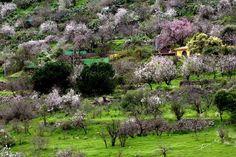 Canarias Te Quiero ALMENDROS en FLOR en Valsequillo, Gran Canaria. Estos días es el momento IDEAL para sentirlos en VIVO. La imagen es de ADRIÁN NEGRÍN. ¡Qué PRECIOSIDAD! Canario, Canary Islands, Golf Courses, Plants, Flower, Continents, Earth, Places To Visit, Traveling