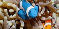 Descoberto Peixe Palhaço azul - AquaA3 - Aquarismo Alagoano