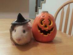Halloween Guinea pig!