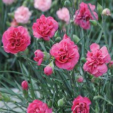 Bonsai Fine 200 Pcs Carnation Perennial Flower High Survival Rate Mother Flower Rare Flower Plants For Home Garden Best Mom Gift Easy To Repair