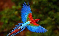 попугай, синий, летит, красный