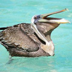 It's dinner time! #pelican #stjohn #usnationalpark #vinationalpark #usvi  credit: @kcm4moon