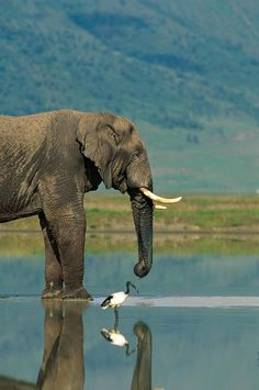"""With a sacred ibis beside him, an African elephant drinks from the waters of a pan in Botswana, Africa."""