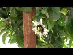 Horta, frutas e flores no jardim: Polinização feita pela vespa Mamangaba na flor de ...