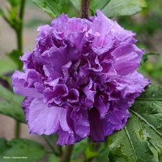 Hibiscus French Cabaret Purple - Althéa double violette
