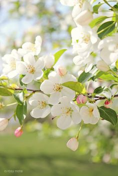 ❤❤❤❤ Copyrights unknown. Apple blossoms.