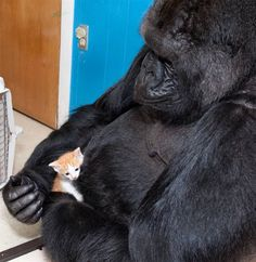 KOKO The Gorilla Playing With Pet Kitten