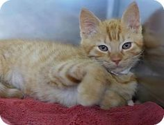 Meet Sleepy a 2 month old sweet & energetic kitten for adoption. He loves attention, playing, toys & is up to date on everything! <3 Who can resist?!!