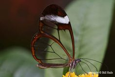 """These butterflies are known as Greta Oto and are members of the clearwing clade. Due to their beautiful transparent wings, they are also called glasswing or espejitos (""""little mirrors"""")."""