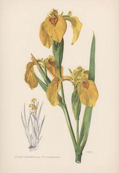 Botanical Print Iris pseudacorus Yellow Flag by AntiquePrintGarden