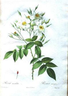 Botanical - Flower - Les Roses 6