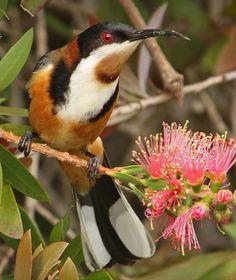 Eastern Spinebill, a honeyeater, SE Australia
