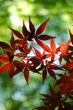 Red Maple Tree, Leaves, Landscape