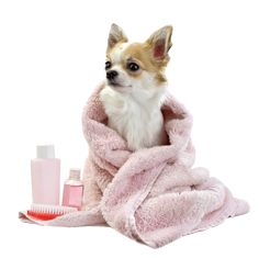 Sweet chihuahua with spa accessories isolated. Chihuahua dog with pink towel and , Chihuahua Dogs, Dogs And Puppies, Chihuahuas, Doggies, Dogs 101, Teacup Chihuahua, Baby Dogs, Toy Dog Breeds, Dog Grooming Tips