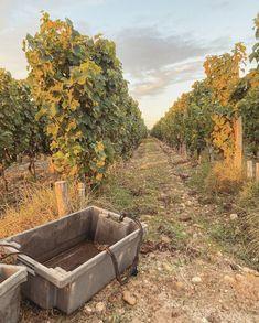 Vendanges à la main pour nos vins blanc en appelation Graves