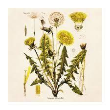 Herb Series: Dandelion (medicinal weed).  This website looks good.