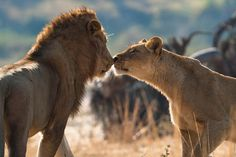 lion kiss | Africa Geographic | photo by Marlon du Toit