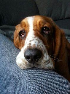 Basset hound- sweet lazy buddy -male name :lafayette female name: Charlotte Basset Puppies, Hound Puppies, Basset Hound Puppy, Funny Dog Faces, Funny Dogs, Chien Basset, Bassett Hound, Funny Dog Pictures, Best Dogs