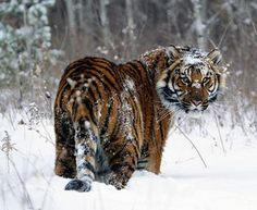 amur tiger - it is easy to forget that there are still places on earth where wild animals rule.