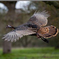 Wild Turkey in Flight (Meleagris gallopavo) - Pavo salvaje Quail Hunting, Turkey Hunting, Archery Hunting, Hunting Dogs, Coyote Hunting, Pheasant Hunting, Turkey Pics, Wild Turkey, Tom Turkey