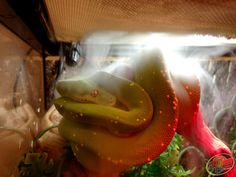 Zoo Med's Josh sent over this cool picture of his Green Tree #Python chillin' under one of our Repti Foggers!