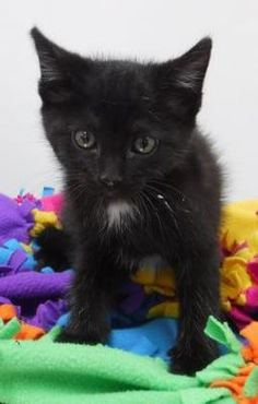 35 Best kittens for adoption images in 2019 | Adoption