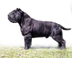 This is a Mollosso Presa Mayo. He is my dream dog. He is just a concept but I would be so happy if a dog like this existed someday ! Presa Mayo, Big Dogs, I Love Dogs, Rare Dogs, Dog Varieties, Bully Dog, Real Dog, Dog Agility, Cane Corso