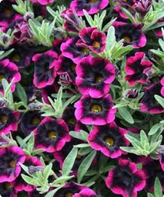 Blackberry Punch calibrachoa
