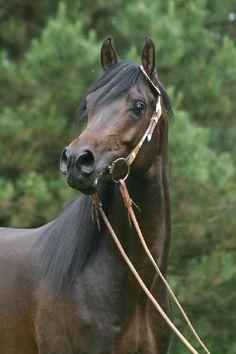 Arabian stallion Muscateal's Saphir