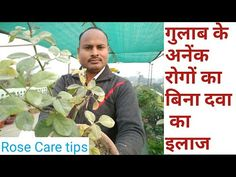 Rose diseases treatment without pesticide Rose Diseases, Rose Care, Planters, Tips, Youtube, Plant, Window Boxes, Youtubers, Youtube Movies
