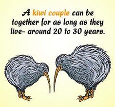 Kiwi bird fact