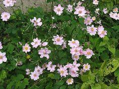 Découvrez l'anémone du Japon, une plante vivace bulbeuse à la jolie floraison automnale. Facile à cultiver, elle offre des fleurs gracieuses et lumineuses, très appréciées au jardin ou en bouquet.
