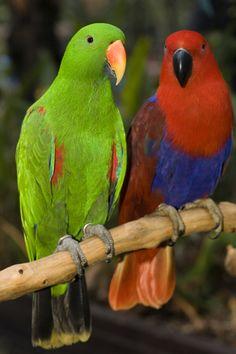 Eclectus-As diferenças entre os machos e as fêmeas vão além da coloração da plumagem. Além de as fêmeas serem um pouco menores que os machos, a mandíbula superior de um macho adulto é laranja na base. O bico da fêmea, por sua vez,  é inteiro preto.