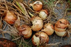 Onion Harvest Time: Learn How And When To Harvest Onions - The use of onions for food goes back over 4,000 years. Onions are popular cool season vegetables that can be cultivated from seed, sets or transplants. Onions are an easy-to-grow and manage crop that, when properly harvested, can provide a kitchen staple through the fall and winter.