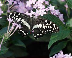 """Der Style von Hannover ist...    Schmetterlinge zu fotografieren! Im Berggarten der Herrenhäuser Gärten findet derzeit die Ausstellung """"Gaukler der Tropen"""" statt. Absolut sehenswert :-) schon über eine Jahreskarte nachgedacht? Diese kostet nur 25 Euro für 365 Tage. Also zuschlagen! - https://www.style-hannover.de/schmetterlings-ausstellung/"""