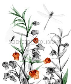 Chinese lantern lily plant, X-ray