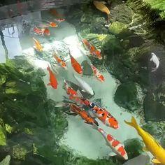 Fish Pond Gardens, Small Backyard Gardens, Ponds Backyard, Planted Aquarium, Aquarium Fish, Garden Pond Design, Goldfish Pond, Carpe Koi, Beautiful Sea Creatures