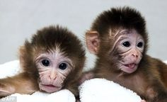 Revolutionary: Twins Mito and Tracker are two of the monkeys who were born using an IVF technique that creates babies with three biological parents. They were named after a dye called Mitotracker used in the procedure