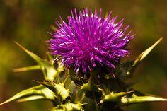 ScottishThistle