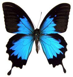 Blue Ulysses Swallowtail butterfly, my favorite butterfly.