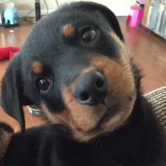 Sundays with the pup 🐶Video by: Cute Little Animals, Cute Funny Animals, Funny Dogs, Rottweiler Love, Rottweiler Puppies, Cute Dogs And Puppies, I Love Dogs, Pet Dogs, Cutest Dogs