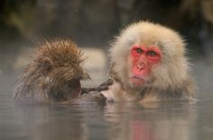 Looking For Problems Mate! by Harry Eggens on Snow Monkeys, Japanese Macaque, Primates, Nature Photos, Photographs, Old Things, Animals, Snow, Primate
