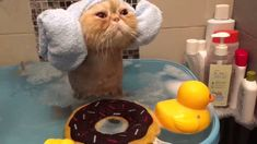 """You're a true cat lover"""" Right!) - Only 1 In 15 Real Cat Lovers Can Recognize All Of These Cat Breeds Cute Cat Gif, Cute Cats, Funny Cats, Adorable Kittens, Funny Cat Videos, Funny Cat Pictures, Animal Pictures, Cat Bath, Spa Treatments"""