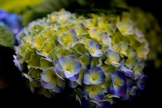 Hortensia, a colorful beauty!